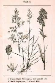 Liste des espèces du genre Poa — Wikipédia