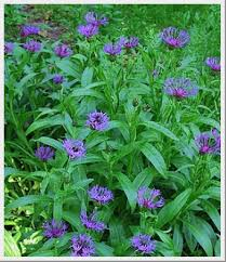 Centaurea Montana - Graceful Gardens