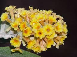 Buddlejaceae — Wikipédia