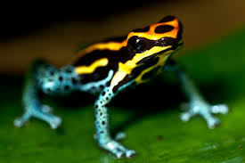 Image result for poison dart frog pattern