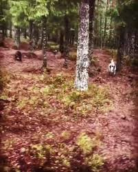 Pointersista - Playtime in the <b>forest</b>: <b>2x</b> Gordonsetter, 2x...