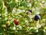 viccinium myrtillus