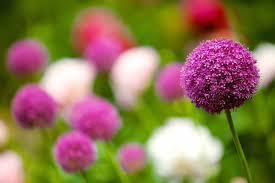 Resultado de imagen para flores de bach