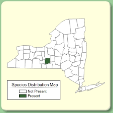 Inula salicina - Species Page - NYFA: New York Flora Atlas
