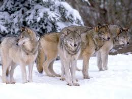 Image result for pack of wolves in winter