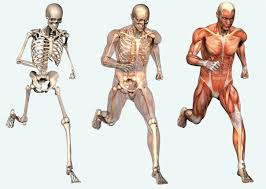 Image result for human body muscles