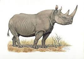 Image result for black rhino