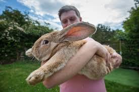World's largest <b>rabbit</b> missing, presumed stolen | Live Science
