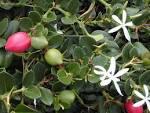 Images & Illustrations of carissa plum