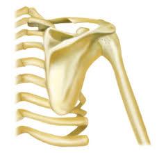 「肩関節と機能解剖」の画像検索結果
