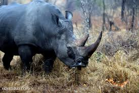 Over 1,000 <b>rhinos</b> killed by poachers in South Africa last year
