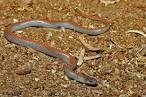 Images & Illustrations of ground snake