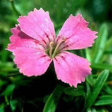 DIANTHUS GLACIALIS SEEDS (Glacier Pink) - Plant World Seeds