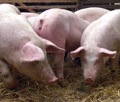 Image result for תמונות חזירים באירופה