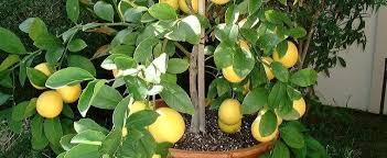 lemon tree x: citrus x meyeri ecejpgwidhtheight citrus x meyeri
