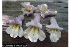 Plants Profile for Paulownia tomentosa (princesstree)