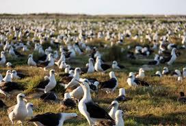 「midway island Laysan albatross」的圖片搜尋結果
