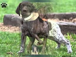 German Shorthaired Pointer Dogs | Lovely Pics Of Dog Breed ...