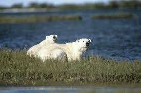 polar bear ursus maritimus wwf howard buffett us