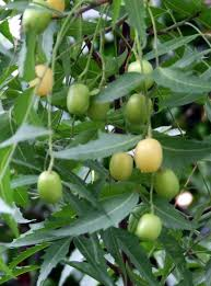 neem pharmacy online neem tree