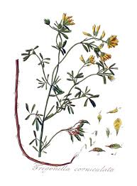 Trigonella balansae - Wikipedia, la enciclopedia libre