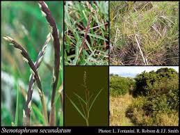 Stenotaphrum secundatum (Walter) Kuntze: FloraBase: Flora of ...
