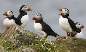 Image result for puffins