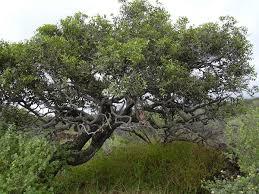 Ebenaceae - Wikipedia