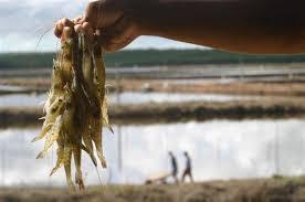 Resultado de imagem para carcinicultura mangue