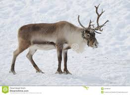 Image result for reindeer