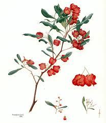 Flora of Australia, Volume 25, Melianthaceae to Simaroubaceae