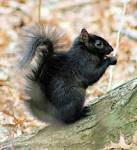 Images & Illustrations of black squirrel