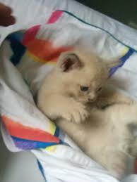 Lilac <b>Burmese Kitten</b>: The Cat Column is not dead - Tahlia Newland