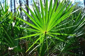 Excessive intakes of <b>saw palmetto</b> extract still safe for consumption ...