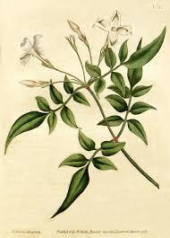 Jasminum officinale - Wikipedia