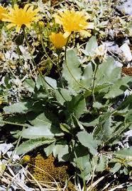 Hieracium scorzonerifolium