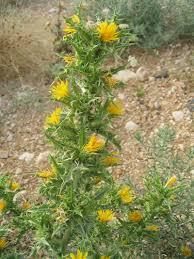 Scolymus hispanicus - Wikipedia