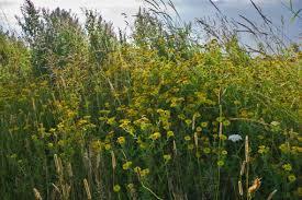Pulicaria dysenterica – Common Fleabane | Wild Flowers | Species ...