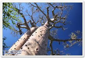 Image result for ?شجرة الباوباب?