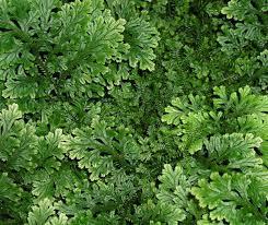 Selaginella - Wikipedia