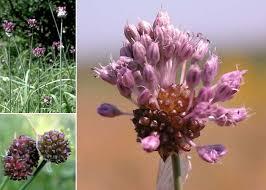 Allium vineale L. - Sistema informativo sulla flora vascolare dei Colli ...