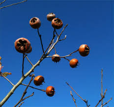 Mespilus germanica (Medlar)