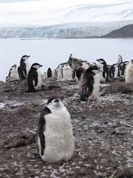 why go to antarctica a photo essay big travel nut chinstrap penguins livingston island antarctica
