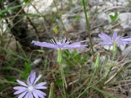 Lactuca perennis | Cichorieae Portal