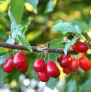 Images & Illustrations of cornelian cherry