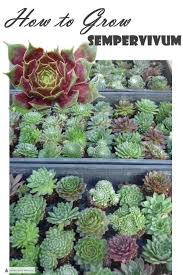 How to Grow Sempervivum - tips for the happiest Hens and Chicks