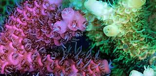 Revealed: why some corals are more colourful than others