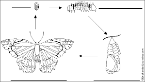 label butterfly life cycle printout   enchantedlearning combutterfly life cycle to label
