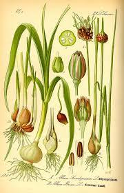 Allium scorodoprasum - Wikipedia