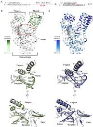 <b>Crystal</b> structures of a <b>natural</b> DNA polymerase that functions as an ...